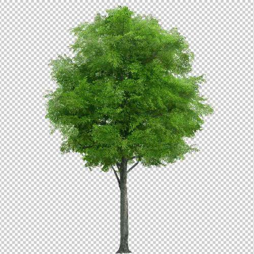 شجرة خلفية شفافة