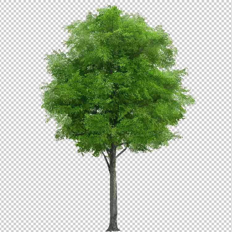 صورة شجرة خلفية شفافة مجانا