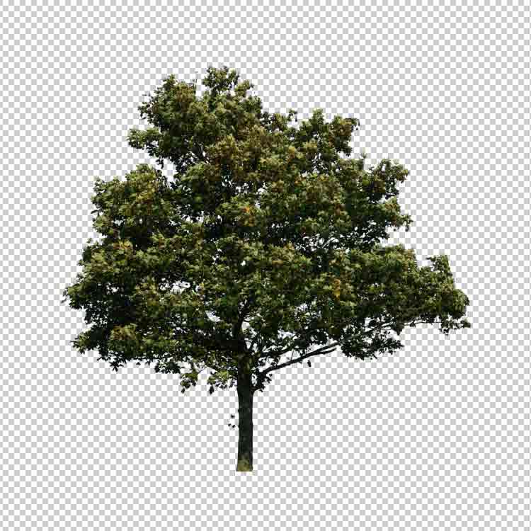 شجرة png